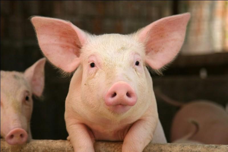 Comment se rafraîchit le cochon ?