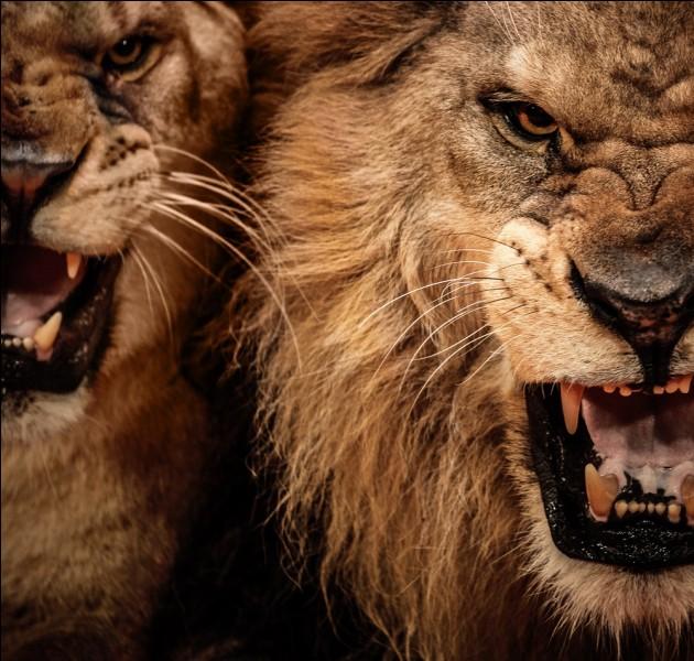 En 1898, deux lions créent la panique en tuant près de 140 ouvriers qui travaillaient à la construction d'un pont, dans la région africaine de Tsavo, cette histoire vraie a donné lieu à un film !
