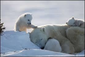 De quelle couleur est la peau de l'ours polaire ?