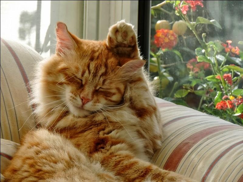 Pourquoi le chat passe-t-il la patte derrière son oreille ?