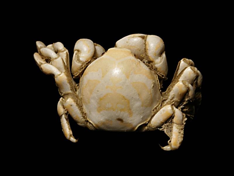 Combien mesure le crabe petit pois au pinnathère ?