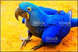 Pour les aras bleus, quel est leur nom scientifique ?