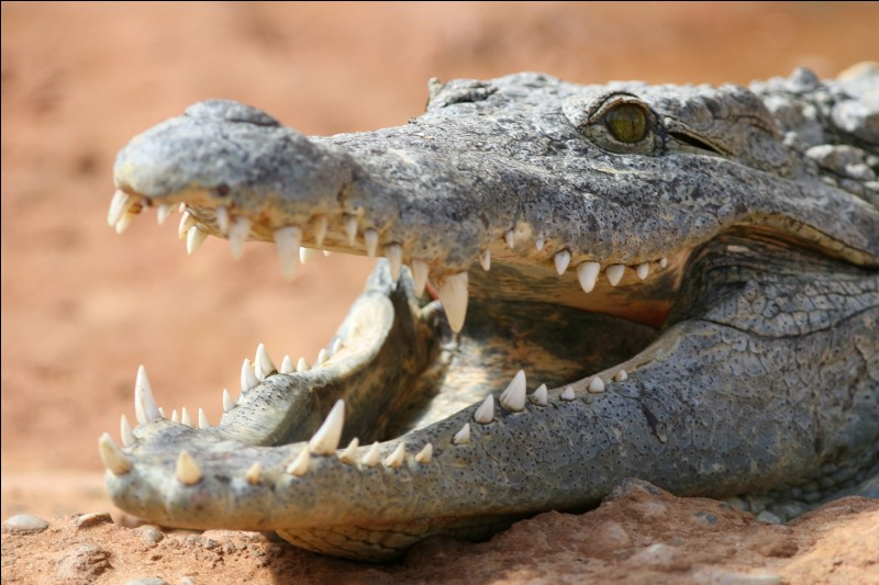 Que fait un crocodile mâle quand il aperçoit un crocodile femelle ?