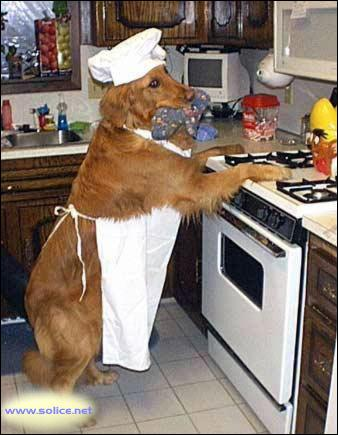 Ce chien pour faire la cuisine, porte un tablier de couleur :