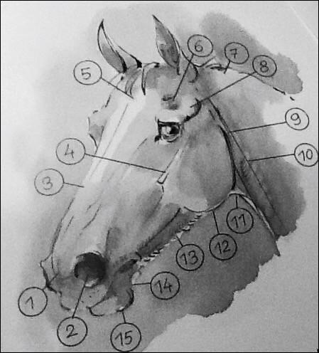 N°1Quel est cette partie de la tête du cheval ?