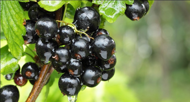 Le cassis étant un fruit riche en antioxydants, quels sont ses bienfaits ?