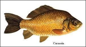 Carassin est un mot ...