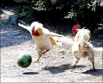 Les poules/coqs jouent avec un ballon de.....