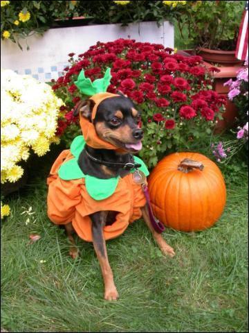 Ce chien porte un costume de :