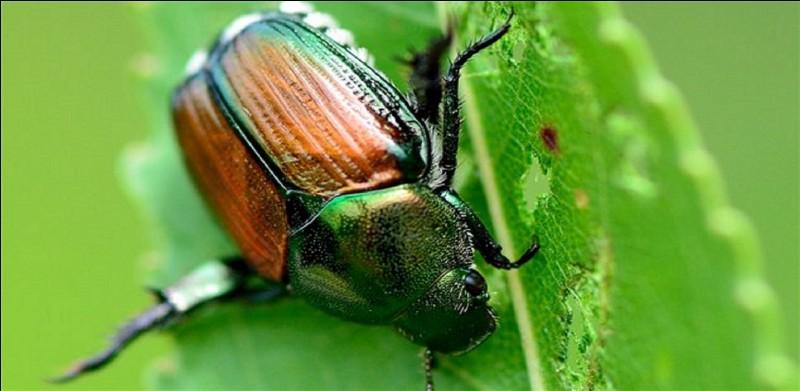C'est un puissant coléoptère dont les ailes sont protégées par des élitres.Comment doit-on orthographier le nom de cet insecte et celui de la protection des ailes ?