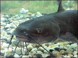 Gros poisson d'eau douce originaire d'Amérique du Nord, mon nom est le...