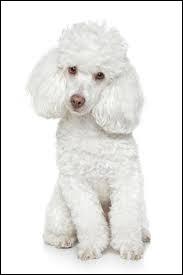 Petit chien français, je peux vivre de 12 à 19 ans et je suis classé parmi les 3 races de chiens les plus intelligentes. Qui suis-je ?