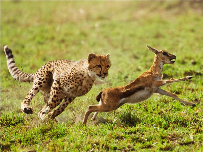 La gazelle et le léopard ont une différence de vitesse de pointe de 10 km/h.