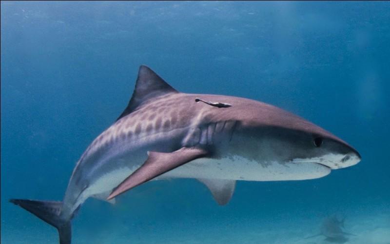 Le requin est l'animal marin le plus rapide !