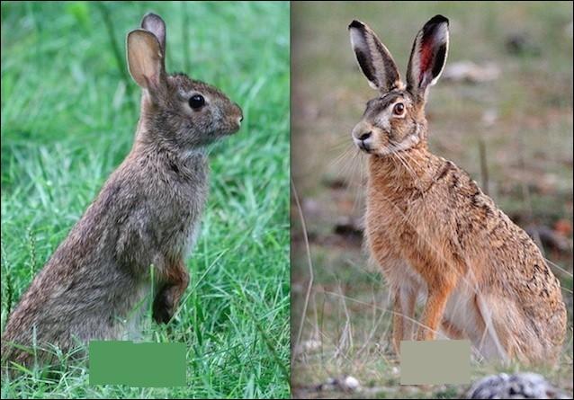 Où est le lapin de garenne ?