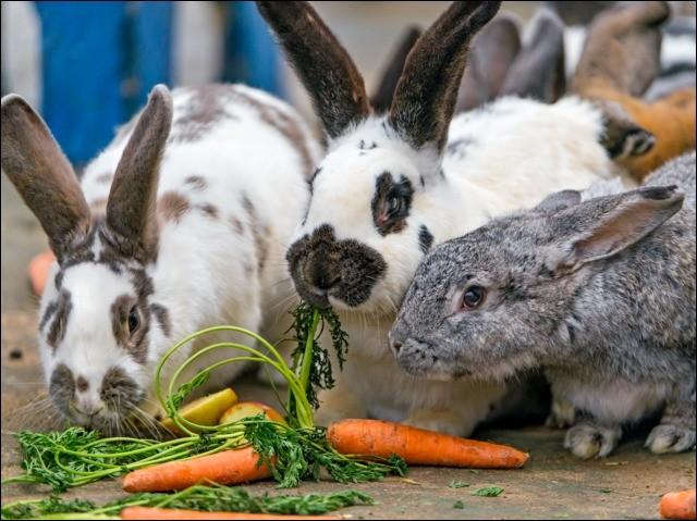 Comment s'appelle l'élevage des lapins ?