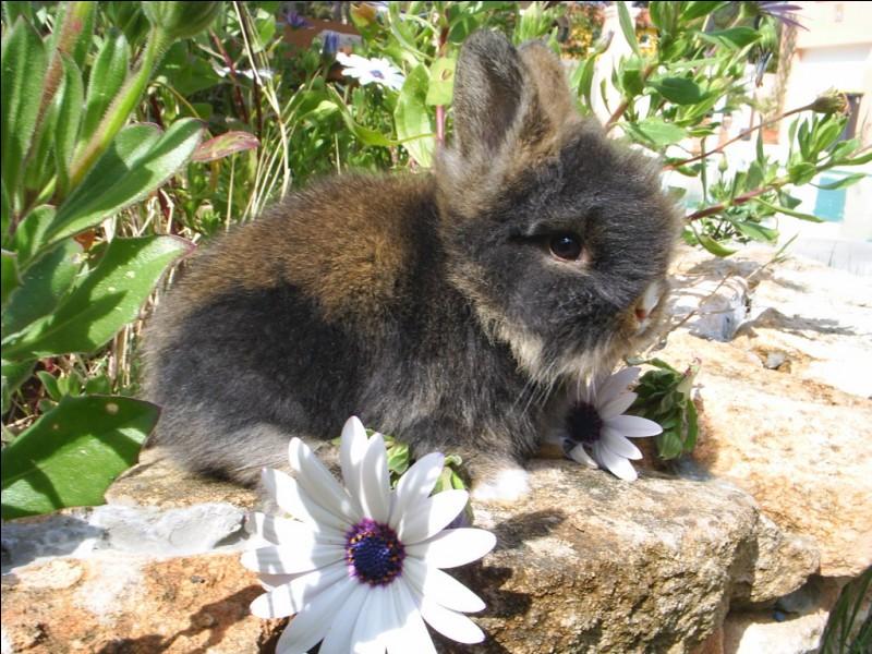 Entre le bébé lapin et le bébé lièvre, lequel est aveugle à la naissance ?