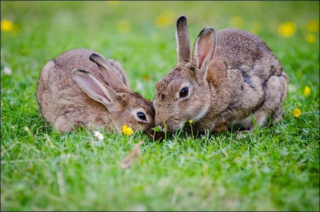 Quelle différence y a-t-il entre un lapin de garenne et un lapin domestique ?