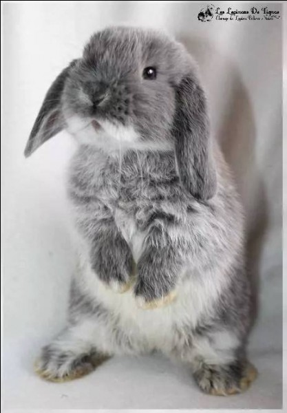 Quel nom d'animal peuvent porter certains lapins ?