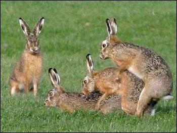 Que fait le lièvre quand c'est la période du rut ?