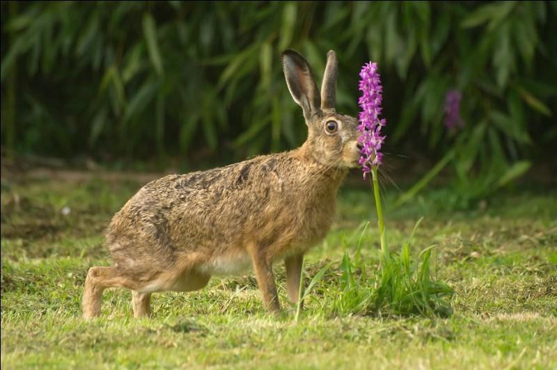 Comment se nomme la femelle du lièvre ?