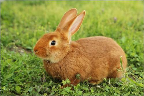 Quelle maladie touche souvent les lapins ?