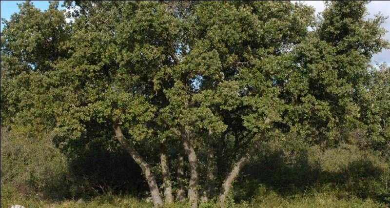 Le chêne peut vivre jusqu'à...