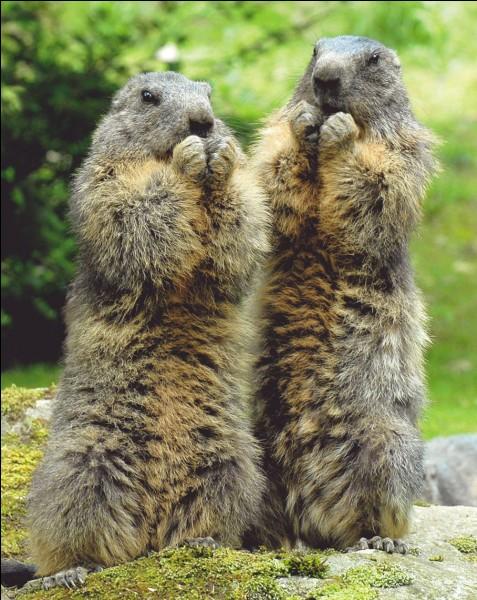 La marmotte est...