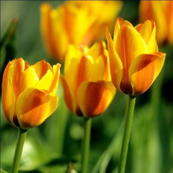 Le nom exact, scientifique, de la tulipe est...