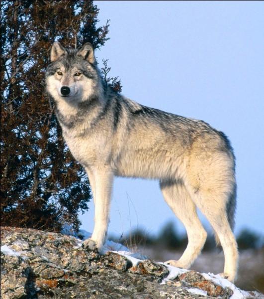 Le poids du loup est de...