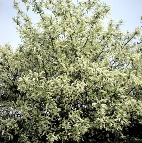 Les feuilles du cerisier mesurent...