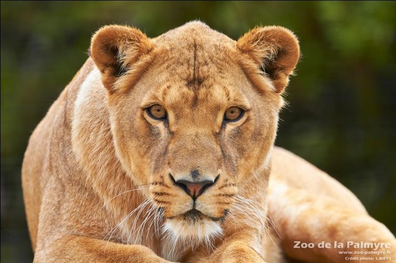 Quel est le nom de la femelle du lion ?