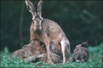 """Dites-moi si cette affirmation sur la famille du lièvre est bonne ou non. """"Maman lièvre s'appelle une 'hase', ses petits des 'levrauts' et le papa un 'bouquin'."""