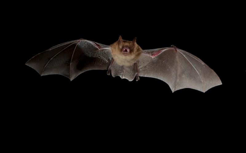 La chauve-souris est un oiseau qui chasse la nuit.
