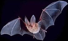 La chauve-souris est un mammifère qui émet des ultrasons.
