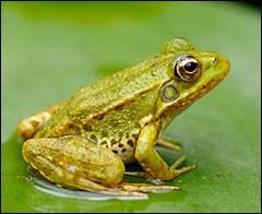 Parlons maintenant de la grenouille. Hiberne-t-elle ?