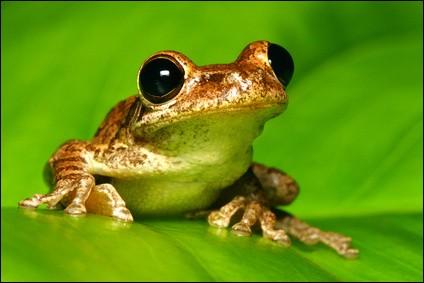 La grenouille fait partie des atractiens, c'est-à-dire des animaux qui vivent à la fois sur terre et dans l'eau.