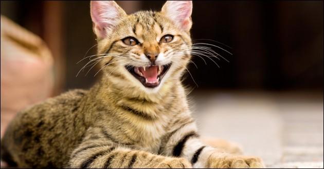Quand un chat miaule, il :