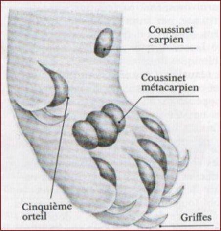 Quel est le nom du cinquième doigt des pattes avant du chat ?