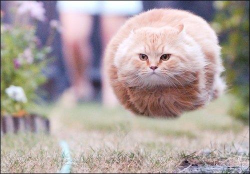 Combien de races de chats existe-t-il dans le monde ?