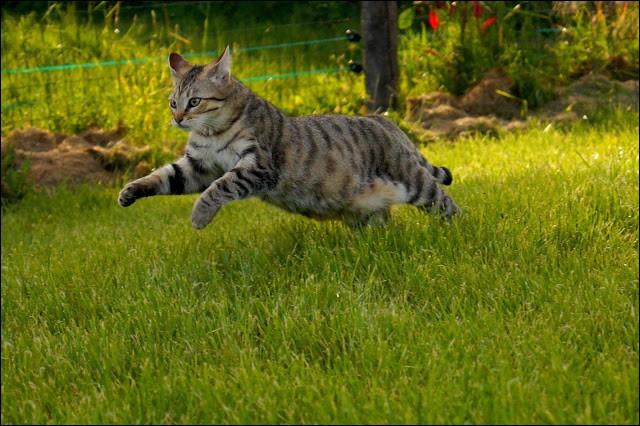 La vitesse maximale qu'un chat peut atteindre en courant est de :