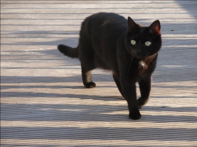 Les chats marchent-ils sur leurs orteils ?