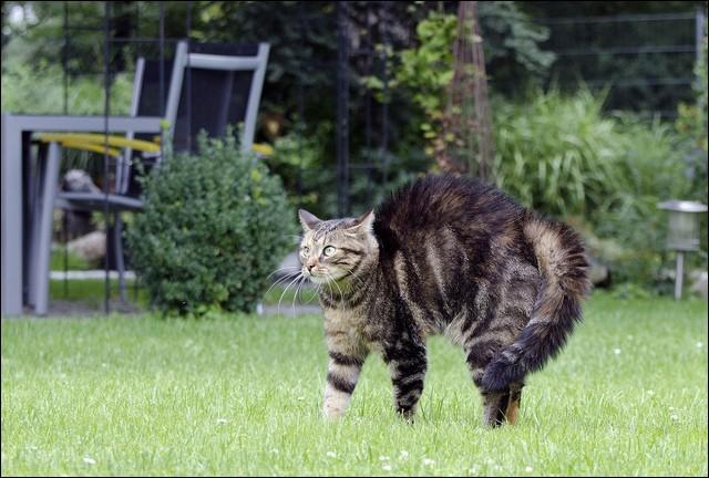 Quand un chat a les poils hérissés, ça veut dire qu'il est :