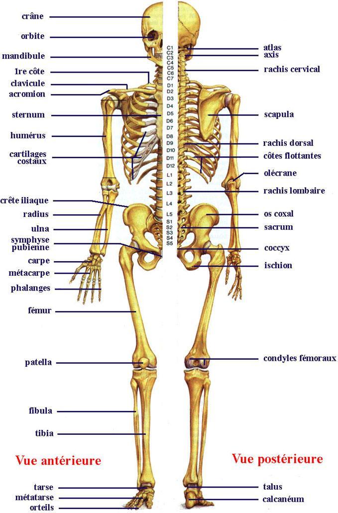 Les Os du corps Humain