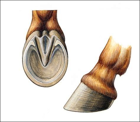 Comment appelle-t-on les bouts des pieds des chevaux ?
