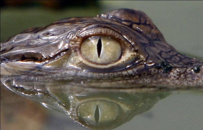Que fait un crocodile quand il rencontre une jolie femelle ?