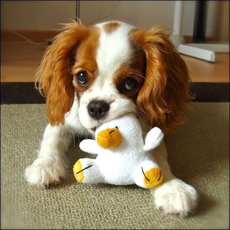 Quelle orthographe s'applique aux bébés des chiens ?