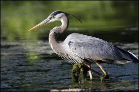 Grand oiseau échassier, je vis généralement dans les zones humides et me nourris de poissons ou rongeurs. Comment je m'appelle ? (2 images).