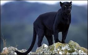 Félin à pelage noir, je fais partie de la famille des léopards. Quel est mon nom ? (2 images).