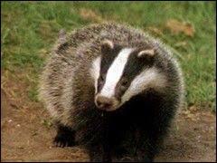 Trapu et court sur patte, je suis un animal noir et blanc des forêts européennes ... Quel est mon nom ? (2 images).